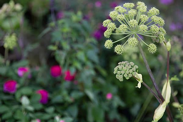 Angelica Archangelica in Thompson's garden