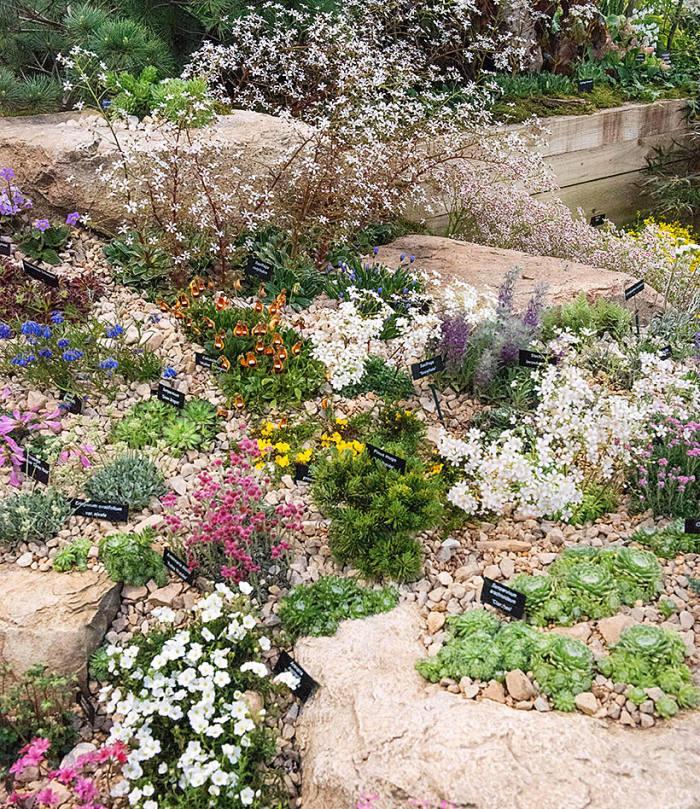 Alpine Garden Society's saxifrages