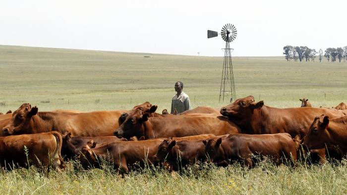 Mthimkhulu inspects his herd of cattle at his farm in Senekal