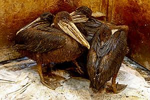 Oiled pelicans