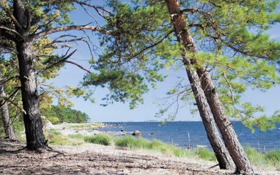 The pine forest on Sandhamn