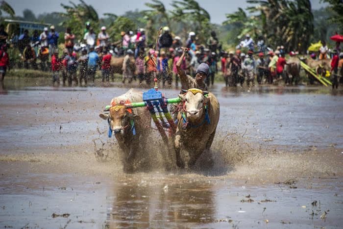 TOPSHOT - A participant holds onto his livestock as he takes part in a buffalo race in Probolinggo, East Java on August 29, 2017. Some fifty teams took part in the annual buffalo race to mark the nation's 72nd Anniversary of independence. / AFP PHOTO / JUNI KRISWANTOJUNI KRISWANTO/AFP/Getty Images