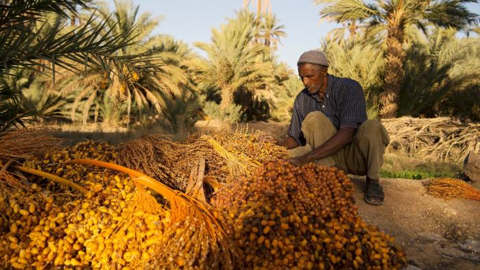 A man harvests dates at a farm on October 27, 2016 near Morocco's southeastern oasis town of Erfoud, north of Er-Rissani in the Sahara Desert. The oasis of Tafilalet near Er-Rissane is at risk of disappearing as the area is drying up due to global warming.  / AFP / FADEL SENNA / TO GO WITH AFP STORY BY JALAL AL-MAKHFI         (Photo credit should read FADEL SENNA/AFP/Getty Images)
