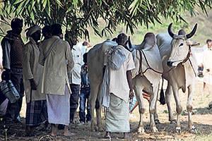 A man with his cows during the Sonepur fair