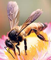 a garden bee