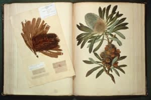 A specimen of Old Man Banksia (Banksia serrata) collected and illustrated on Cook's first voyage and named in honour of Joseph Banks