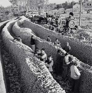 The 'educated youth' pile up corn in a farmyard in Jilin Province in 1972