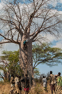 Men use stakes hammered into a baobab trunk as a ladder