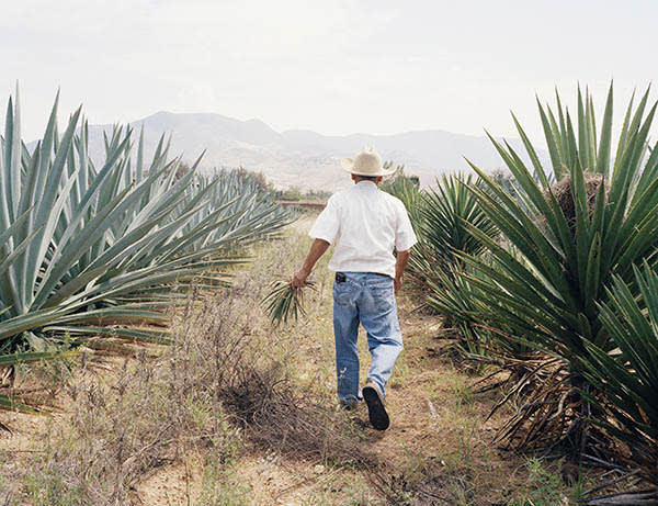 Portrait of Don Lorenzo Angeles Mendoza, owner and distiller at Real Minero Mezcal, inspecting his fields of agave on the family farm. Santa Catarina Minas, Oaxaca, Mexico. May 2015. Credit: Kevin Trageser / Redux / eyevine For further information please contact eyevine tel: +44 (0) 20 8709 8709 e-mail: info@eyevine.com www.eyevine.com