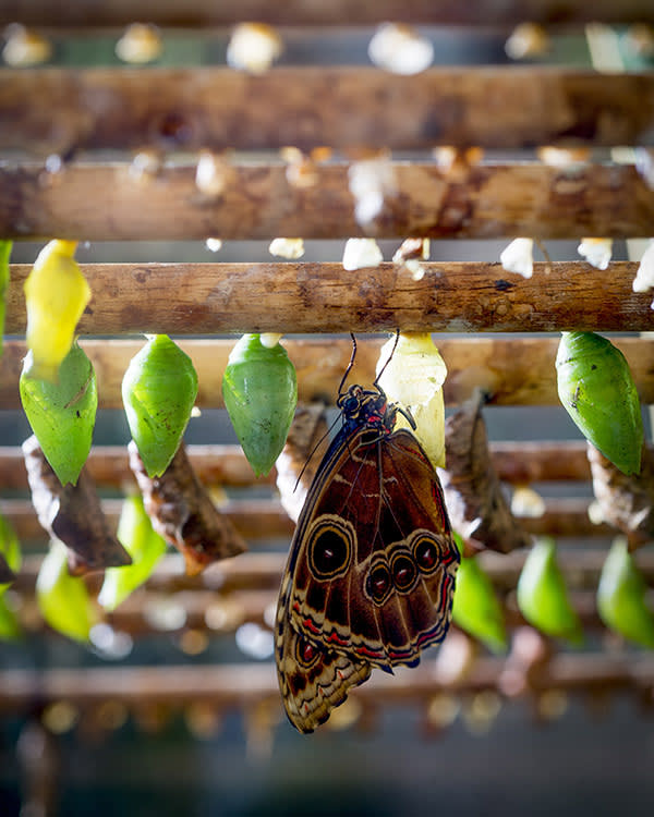Neville Williams.Birmingham.22/06/17.FT Richard Lamb managing director of the Butterfly farm in Stratford upon Avon. Butterfly : Blue Morpho