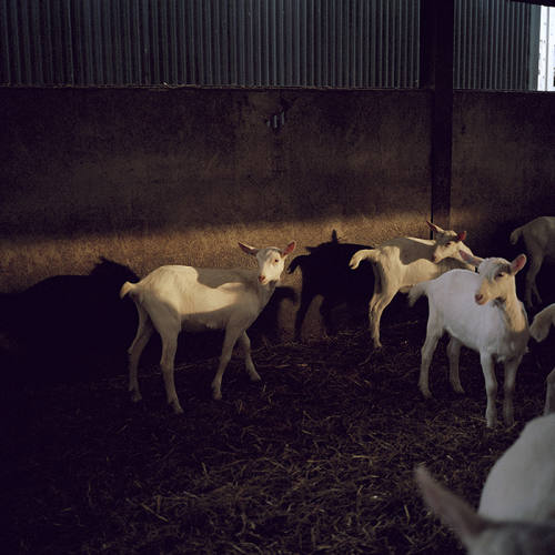 The kids are alright: a goat meat revolution | Financial Times