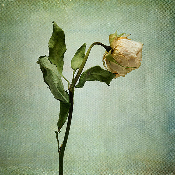 A 'half-blown rose', like that which Rochester presents to Jane Eyre