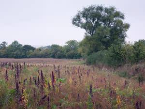 Game crop between Bledington and Oddington