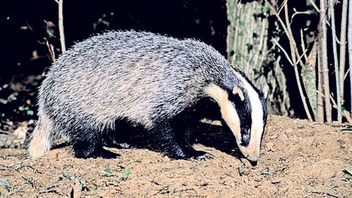 Badger (Meles meles) carefully foraging for food