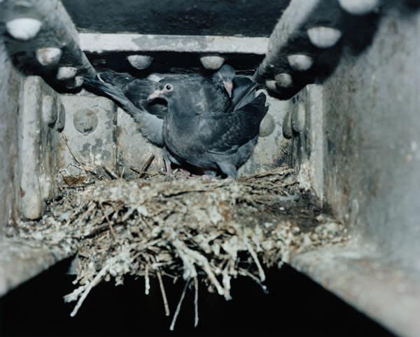 Pigeons nesting under bridges in Hackney