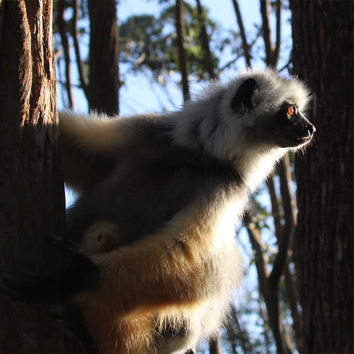 A diademed sifaka, one of Madagascar's most beautiful lemurs