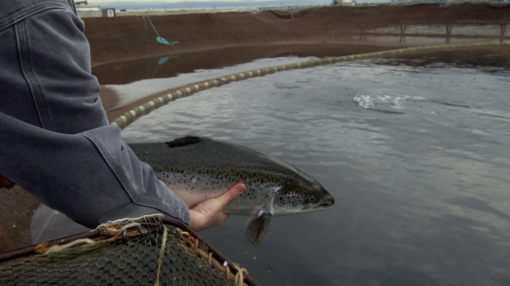 Salmon leaps past shrimp in global fish market   Financial Times