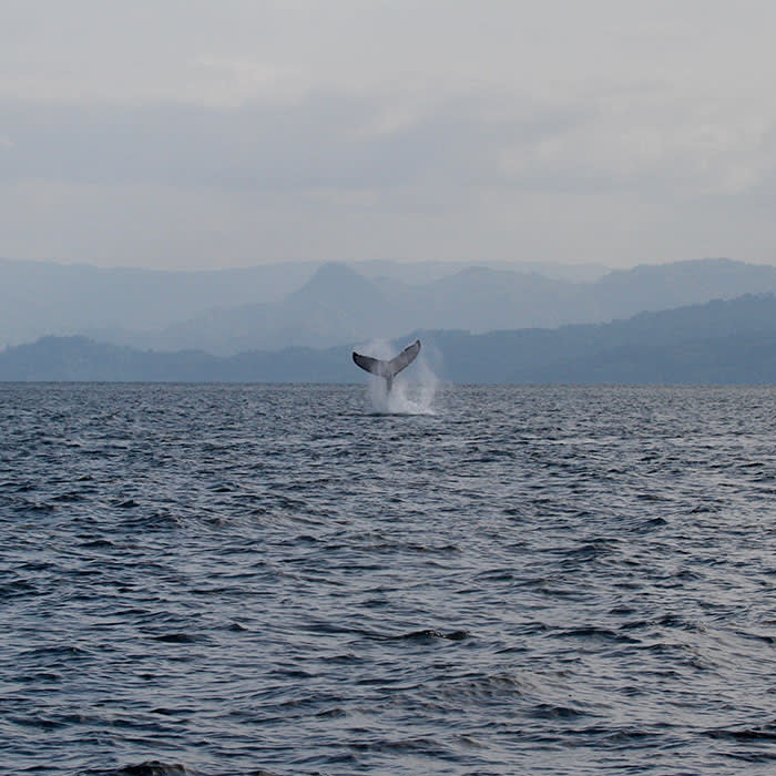 A humpback whale tail-slapping in Antongil Bay off the Masoala Peninsula