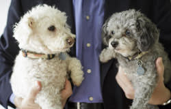Daisy and Violet, Peter Tufano's miniature poodles