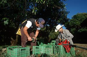 Avocado 'family orchard' in Mexico