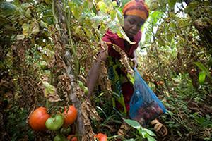 Tomato harvesting in Tanzania