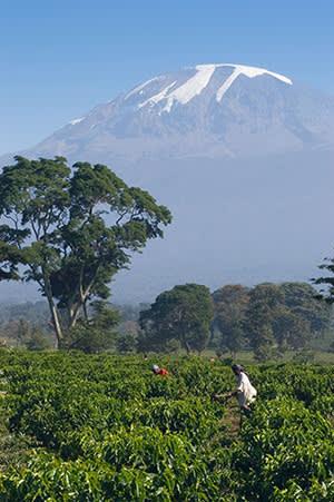 Workers weeding Coffea arabica in the Kilimanjaro region, Tanzania