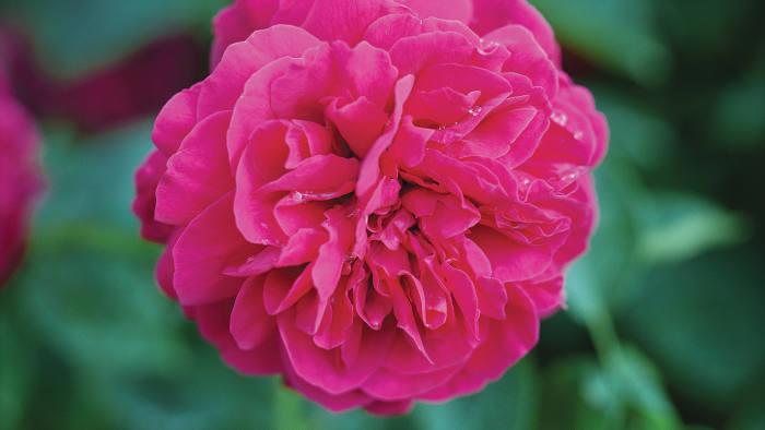 A Young Lycidas rose