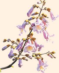 Paulownia flowers