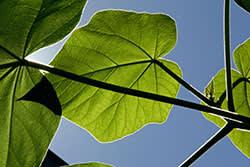 Paulownia leaves