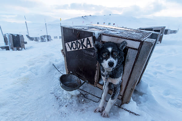 Vodka, a dog at the Green Dog sledding company, which organises trips up the valley at Longyearbyen