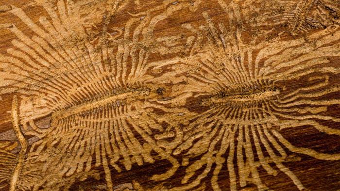 Engravings left by elm bark beetles