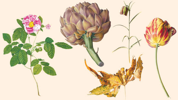 From left: Rose, 'Rosa Mundi', 1953; Artichoke, 1972; Kew Gardens II, 1979 (Platanus x hispanica); Fritillaria messanensis, 1977; Tulip (Red and Yellow), 1976