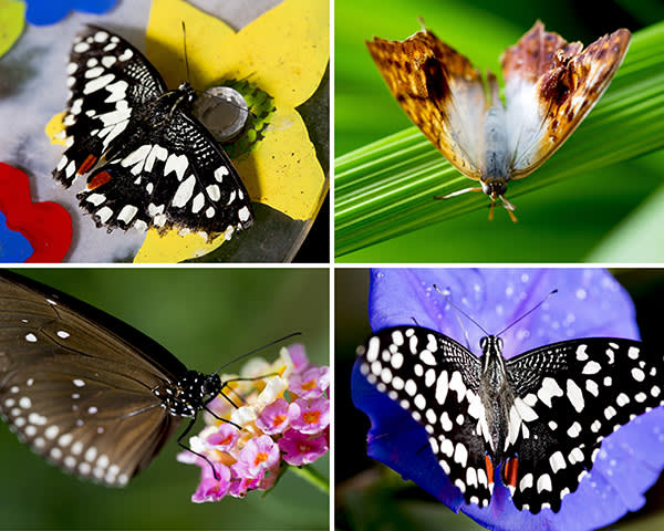 Neville Williams.Birmingham.22/06/17.FT Richard Lamb managing director of the Butterfly farm in Stratford upon Avon. Butterfly : Christmas Butterfly