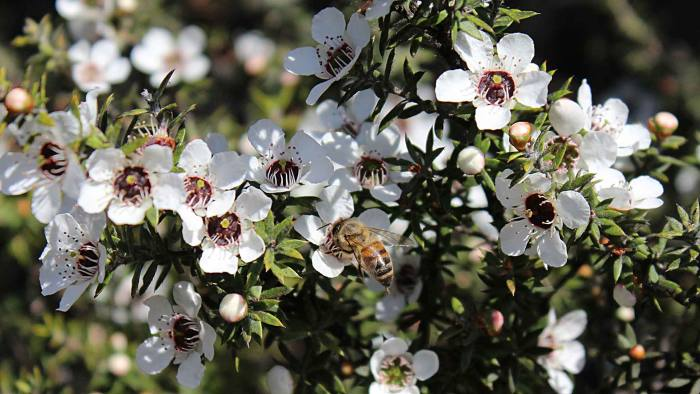 Honey bees gathering pollen from a white manuka flower