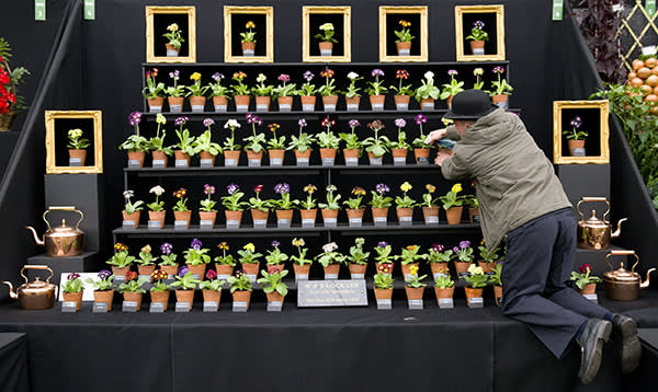 An exhibitor waters auriculas at the 2015 show
