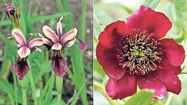 Iris forrestii and Paeonia delavayi