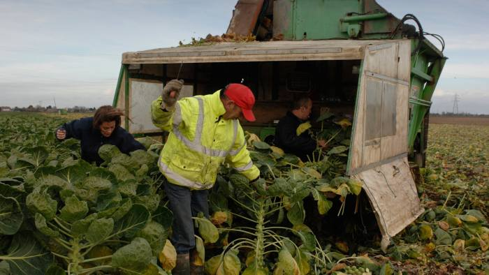 B664EF Sprouts being harvested by migrant workers in Lincolnshire The stalks are hacked out of the ground and fed into the machinery wh