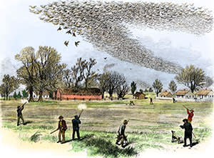 Woodcut of passenger pigeon shooting in 1870s Louisiana