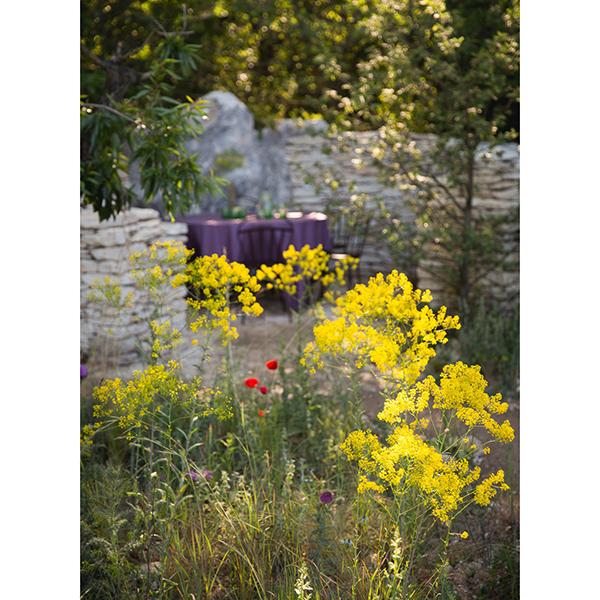 Isatis tinctoria, Provence
