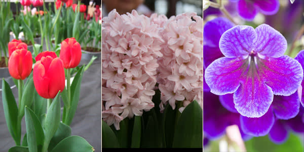Tulip Bourbon Street; Pink Elephant; Streptocarpus Targa