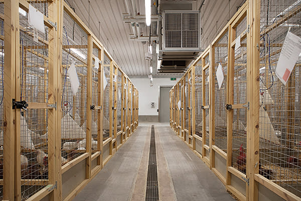 Chickens inside the avian facility at Roslin. Dr Helen Sang, Dr Ian Dunn and Dr John Hickey work with genetic modification and bioengineering of chickens at the Roslin Instute, Edinburgh.