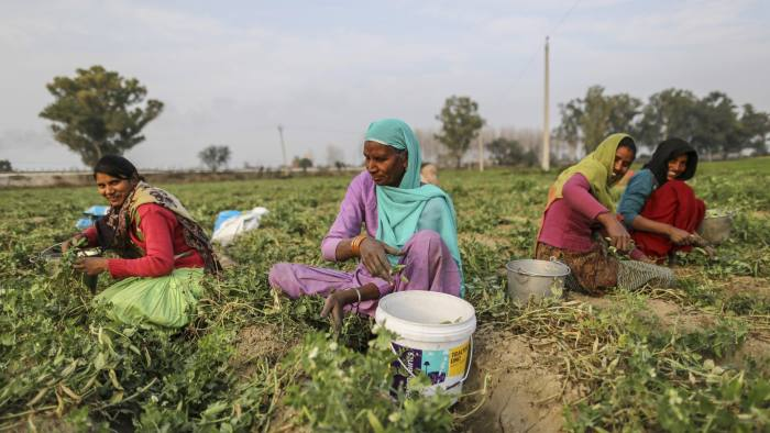 Workers harvest green peas in a field in Amritsar, Punjab, India, on Sunday, Jan. 22, 2017. The Feb. 1 budget is an opportunity for Indian Prime Minister Narendra Modi to unveil measures that will fulfill his 2014 guarantee of growth and more jobs. If he fails, it will slow consumption and leave the rural economy struggling, denting his credibility -- already hit by the abrupt cash clampdown -- on tough policy measures. Photographer: Dhiraj Singh/Bloomberg