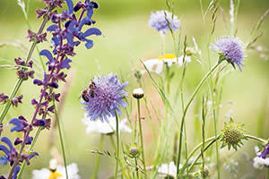 Meadow clary (left) and scabious are attractive to bees