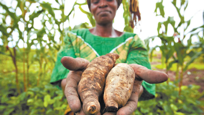 market participation among kenyan smallholder sweet potato farmers Our results indicate that sweet potato enhancing smallholder production of low-technology necessary to enable market participation would also be likely.