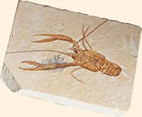 fossilised lobster