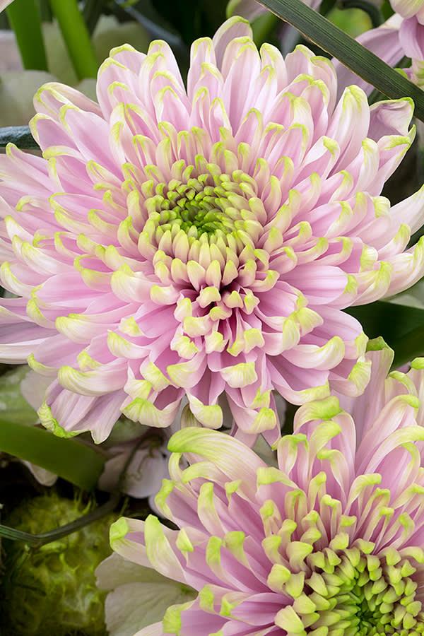 Chrysanthemum Rossano Charlotte