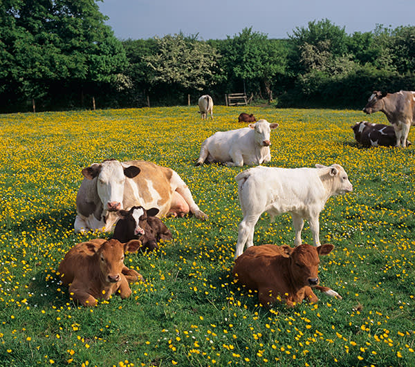 Cows in a field of buttercups in the Chilterns, Buckinghamshire