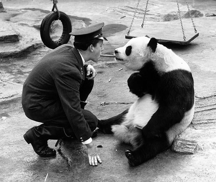 29th September 1959:  London Zoo keeper Alan Kent squats in front of Chi-Chi the giant panda and feeds her a piece of bamboo from between his teeth.  (Photo by William Vanderson/Fox Photos/Getty Images)