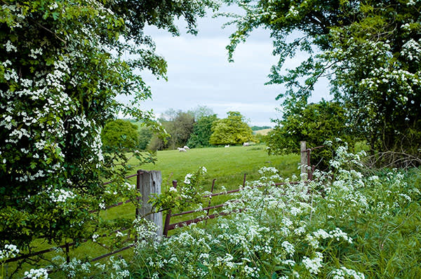 Flowering hawthorn trees and cow parsley near Seven Springs, Gloucestershire