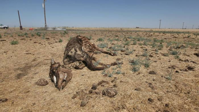 TULIA, TX - JULY 28: The remains of a cow lay near a watering point in a pasture July 28, 2011 near Tulia, Texas. A severe drought in the region has caused shortages of grass, hay and water, forcing ranchers to thin their herds or risk losing their cattle to the drought. The past nine months have been the driest in Texas since record keeping began in 1895, with 75% of the state classified as exceptional drought, the worst level. (Photo by Scott Olson/Getty Images)